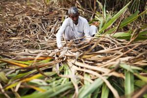 indian sugar cane
