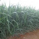 A seca só piorou a situação, diz produtor
