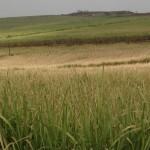 Com a crise, o produtor paga para cultivar cana-de-açúcar, diz fornecedor