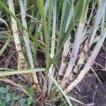 Mais de 8 mil hectares de canaviais foram atacados por praga