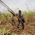 A Bolívia tem 15 mil hectares a menos de cana este ano