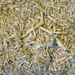 2013-10-09-Biomassa-Palha-Usina-Etanol-2G-Beta-Renawables-Crescentino-Italia-35