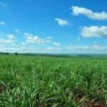 Sugar Cane 149Mike S