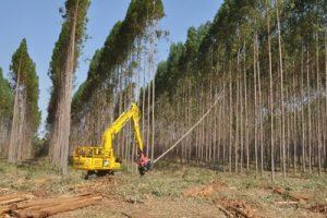 A biomassa da madeira entra na disputa com a biomassa da cana