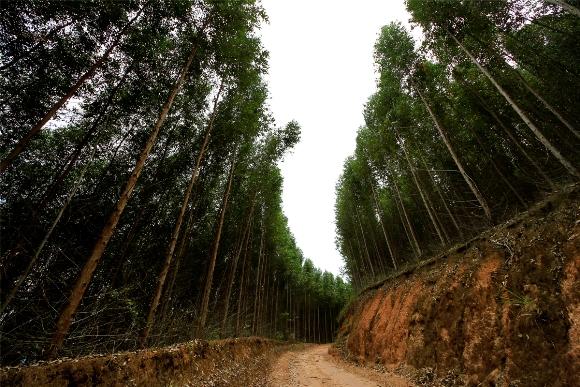 Eucaliptos em Alagoas: foco de investimento (Foto: Thiago Sampaio/Divulgação)